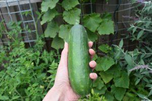 komkommer, komkommeroogts, makkelijke moestuin, moestuinieren