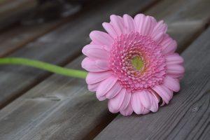 Roze gerbera tuinfotografie