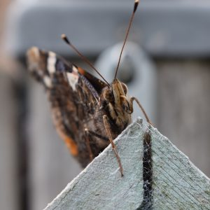 fotografie vlinders