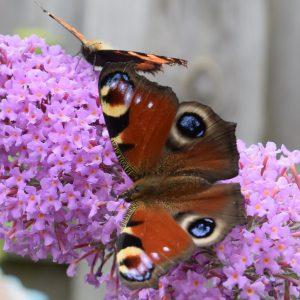 vlinder fotografie dagpauwoog tuinfotografie