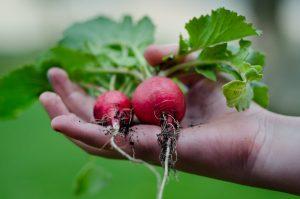 radijsjes biologisch uit eigen tuin
